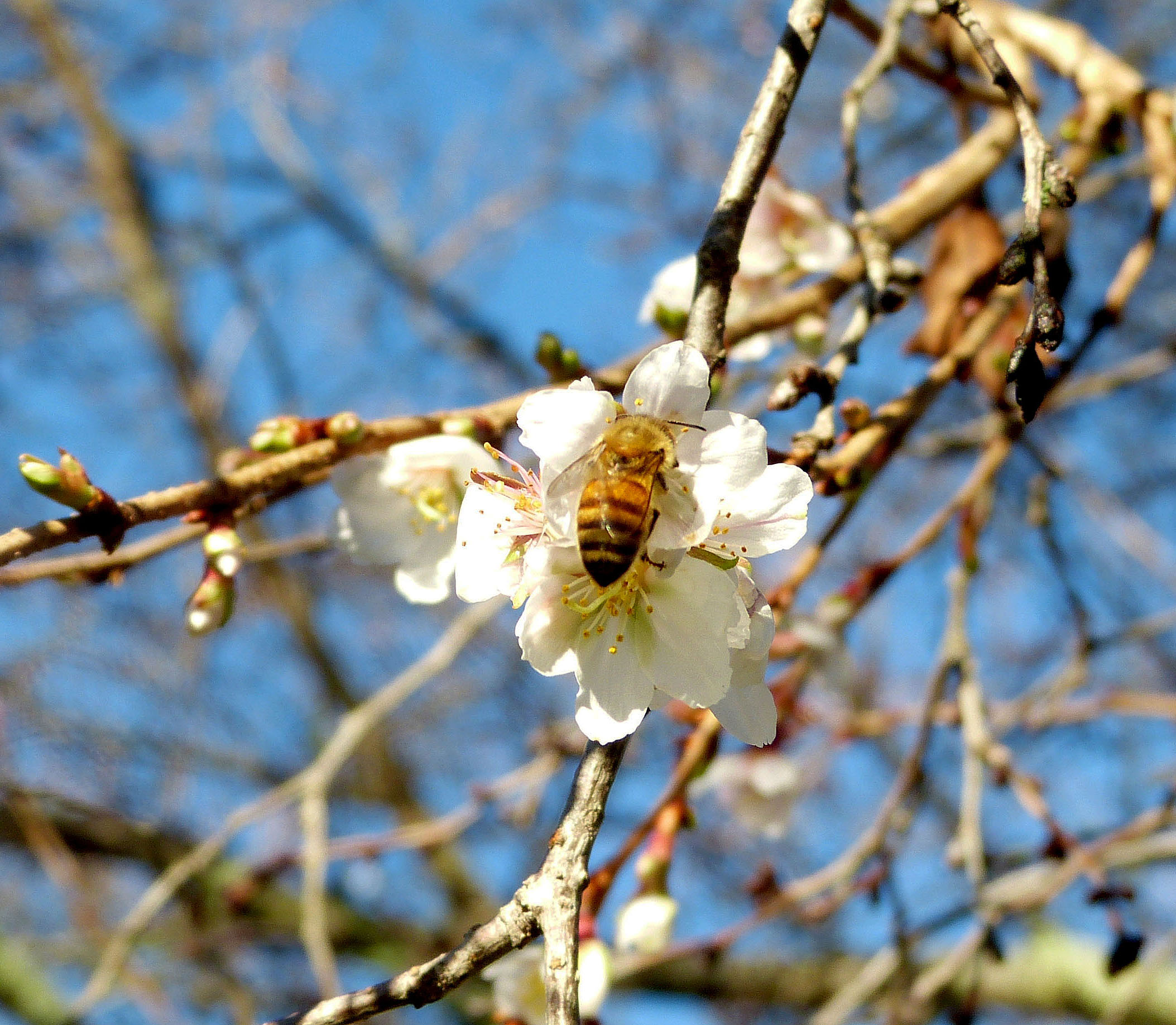 Out of season bloom on a Fugi Cherry in the Rose Garden attracted a hardy honey bee