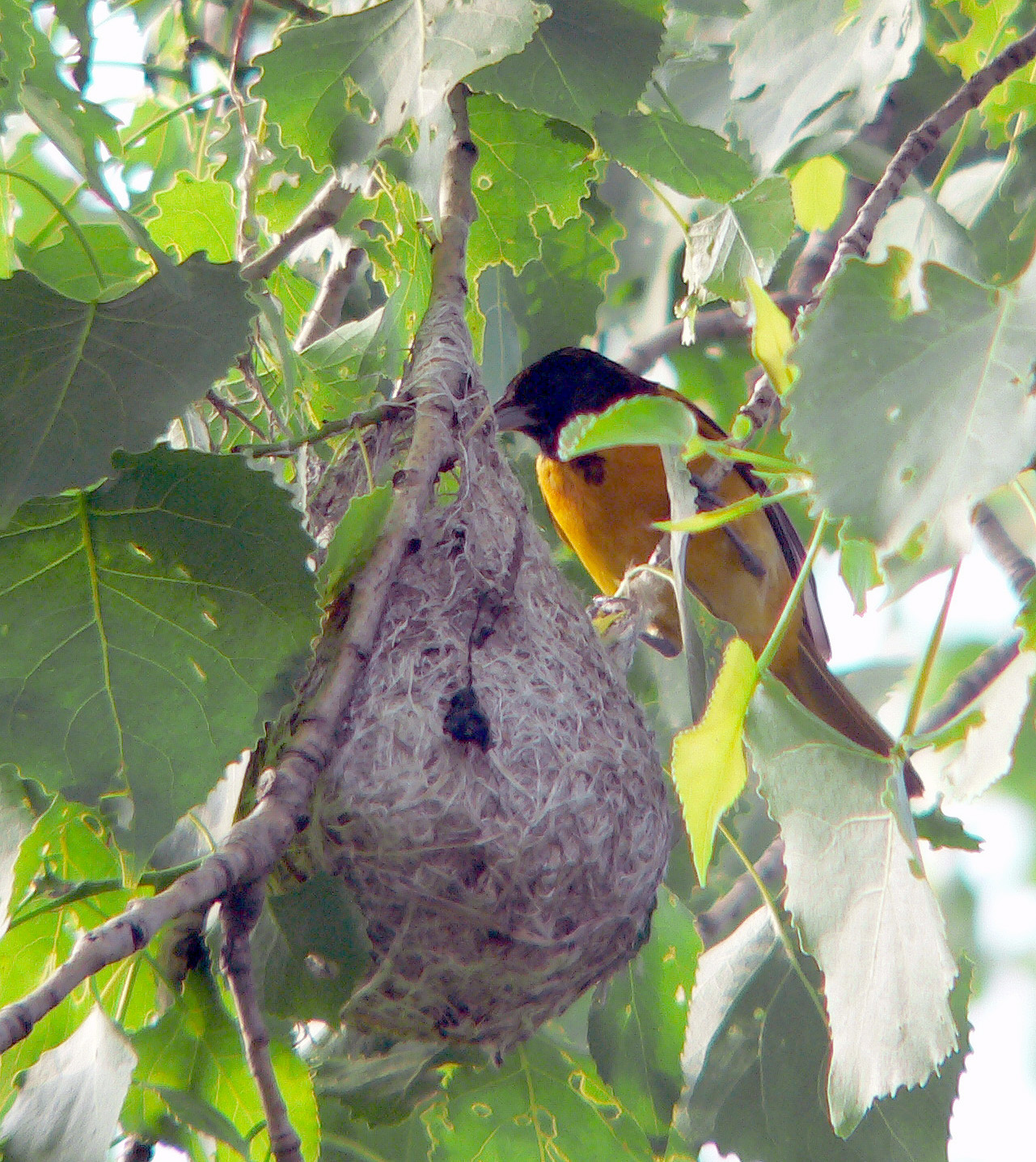 Male Baltimore Oriole at nest. These woven nests are so sturdy they often last through the  entire year.