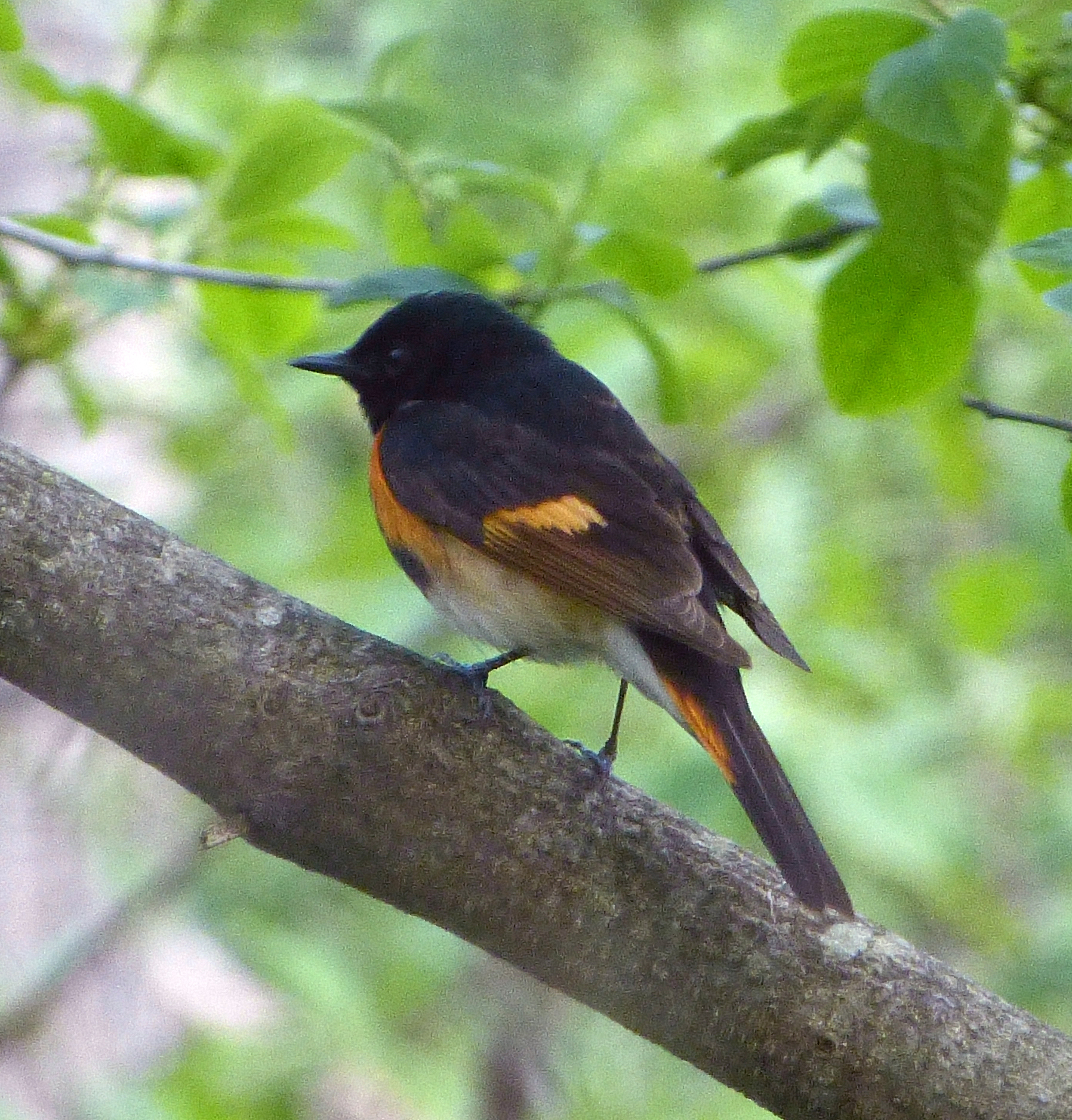 American Redstart, male. The bird we had today was a less colorful female.