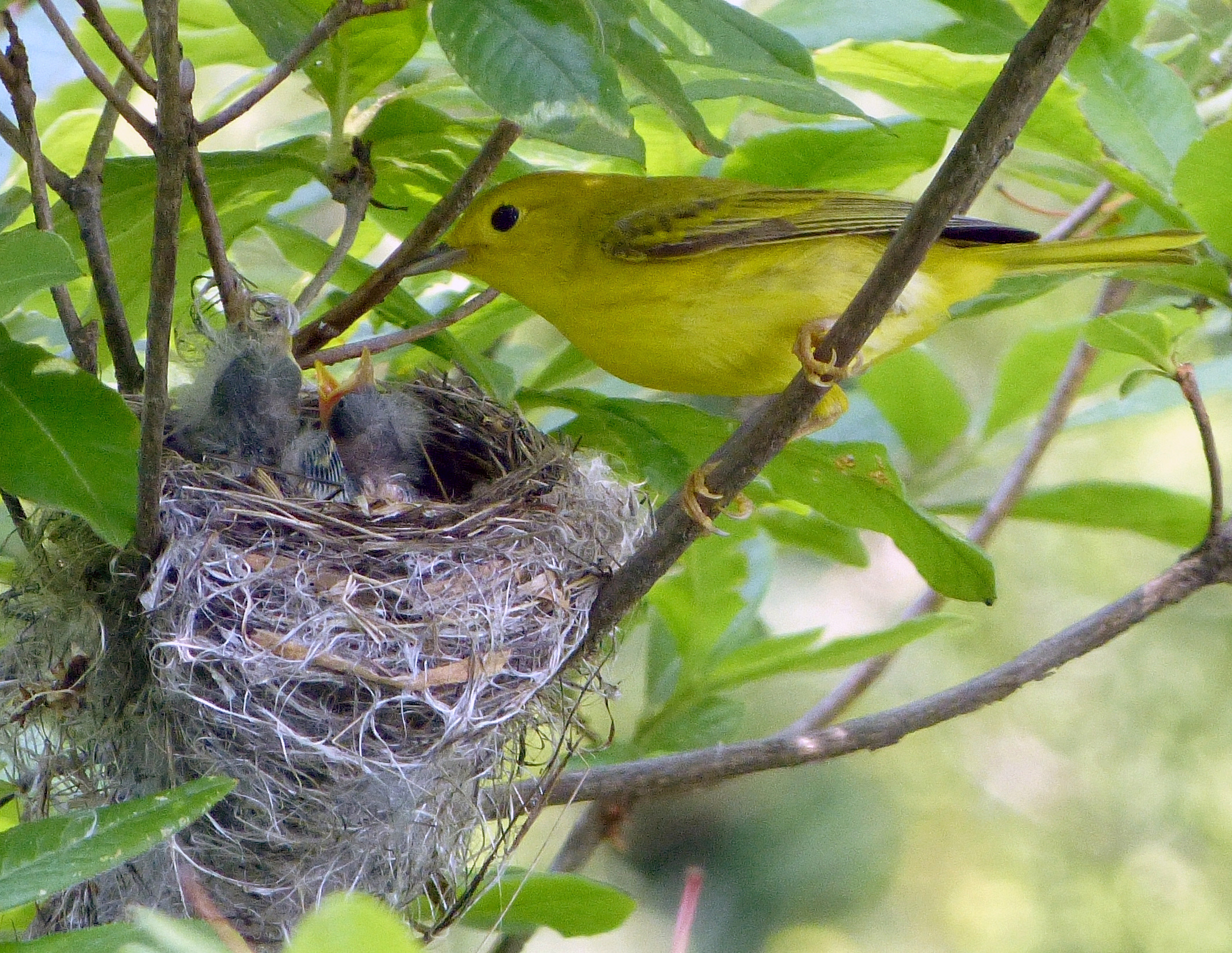 This female Yellow Warbler has at least three mouths to feed